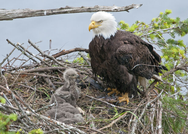 Eagle nest with mother and two chicks