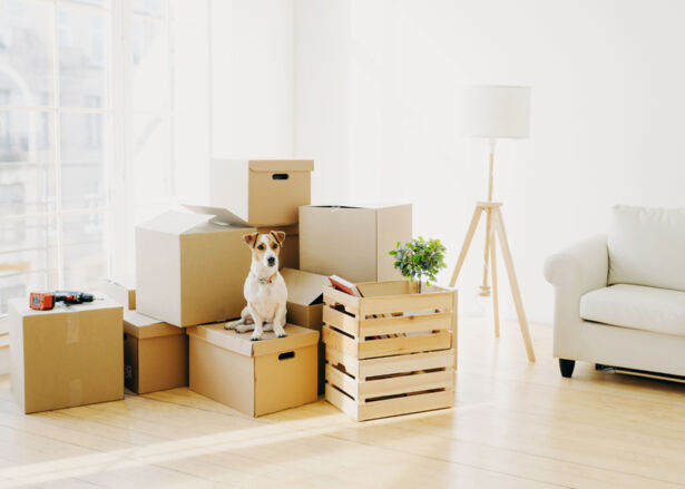 Cute domestic dog poses near cardboard boxes in spacious room with sofa, big window in background.
