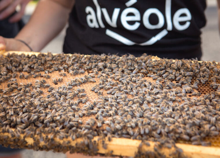 An Alveole beekeeper inspects a hive frame with honeycomb and honeybees